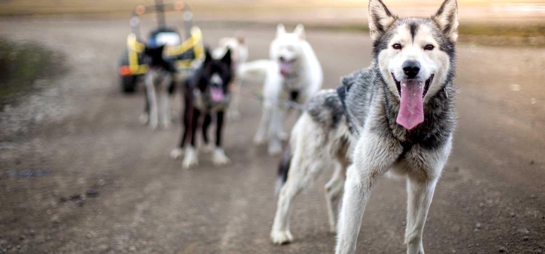 MUS-musher-chiens-traineau